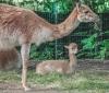 Die kleinen Verwandten der großen Kamele